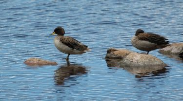 Scientific Name: Speckled Teal - Photo: Tor Egil Hgss 